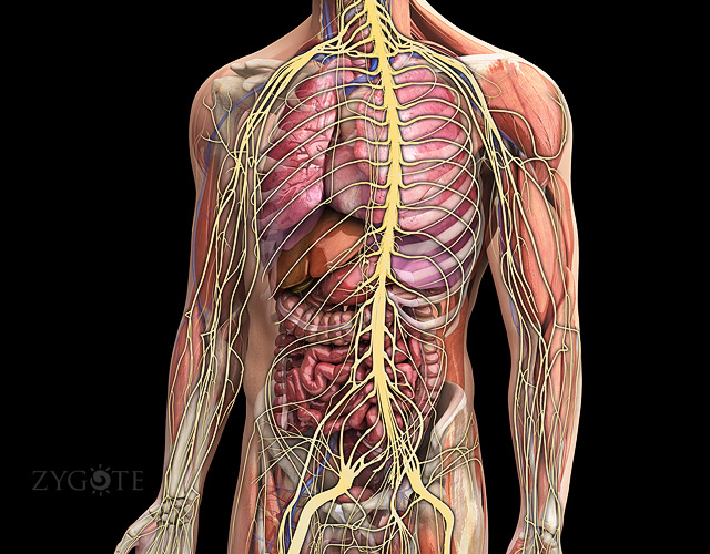5759517 besides Diagram Of Internal Kidney as well Canine1 further Autonomic Nervous System further Brain. on cranial circulatory system