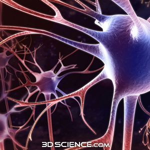 http://www.3dscience.com/img/Products/3D_Models/Biology/Cells/Neuron/supporting_images/3d_model_neuron_web1.jpg