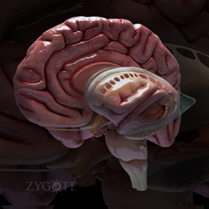 Brain anatomy 3d