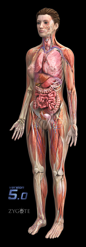 3d Models Human Anatomy Collection 5 0 Capillaries are blood vessels that are one cell thick (endothelium) where the main diffusion and exchange takes place. 3dscience com