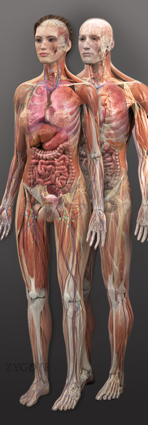 Female human anatomy pictures