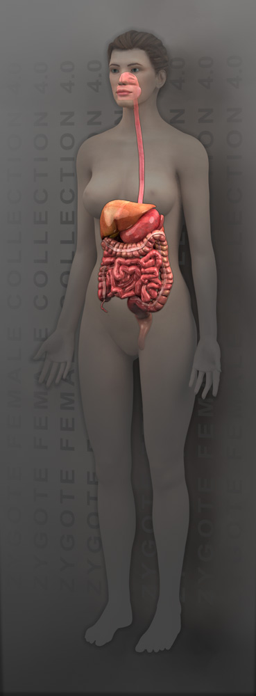 3d female digestive system model 3d female digestive system model 50 ccuart Gallery