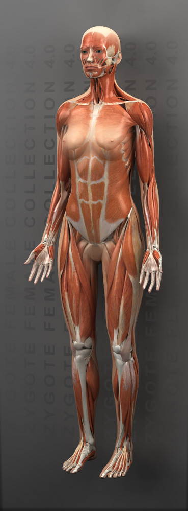 3d female muscular system model, Muscles