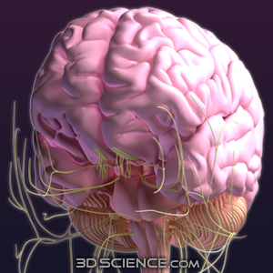 3d brain model with female nervous system