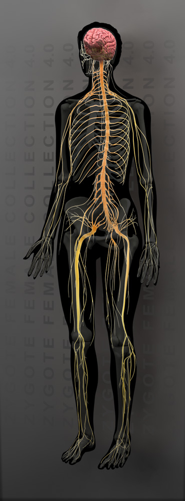 3d female nervous system model 3d female nervous system model 50 ccuart Choice Image