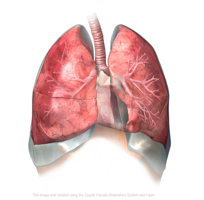 ... , with highly detailed 3D models of lungs and respiratory cartilage
