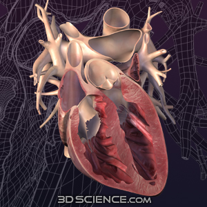 Human Heart Anterior Cut 3D Models
