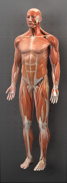 3d male muscular system model, Muscles