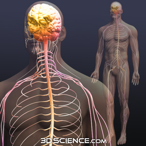 3d brain model with male nervous system