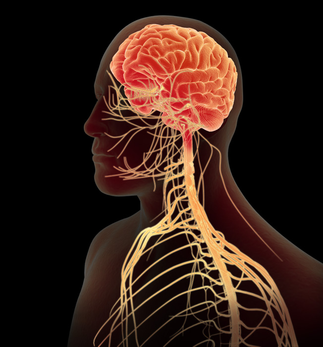 structure and factors of the central nervous system Gene therapy in the central nervous systemthe use of recombinant  retroviruses  nondiffusible factors such as antiapoptotic agents, to a variety of  cns cell  a neuronal morphological structure and expression of antigens  characteristic.