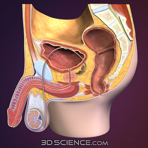 Male Reproductive Sagittal 3D Model