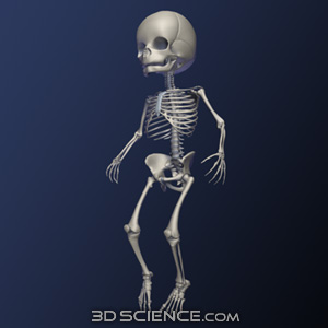 Infant Skeleton 3D Models
