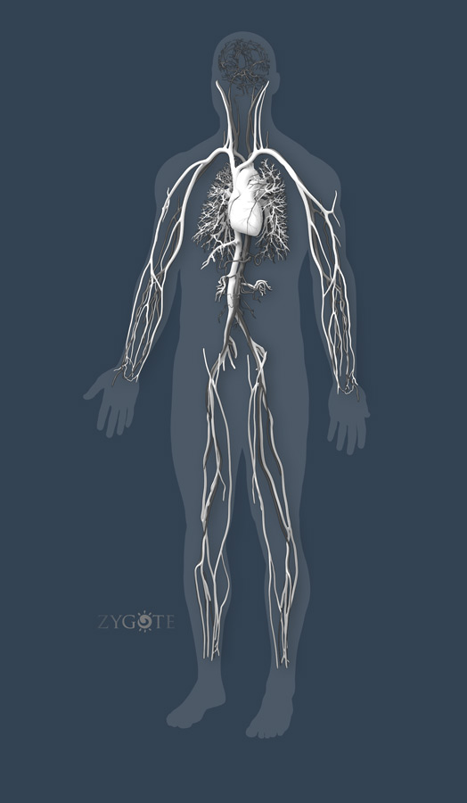 Solid 3D Human Anatomy Model Collection