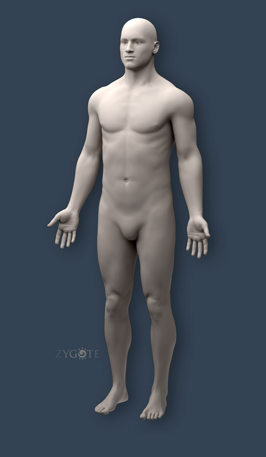 solid 3d human anatomy model collection, Muscles