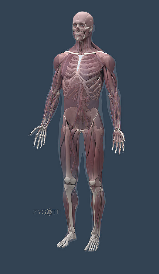 solid 3d muscular model, Muscles