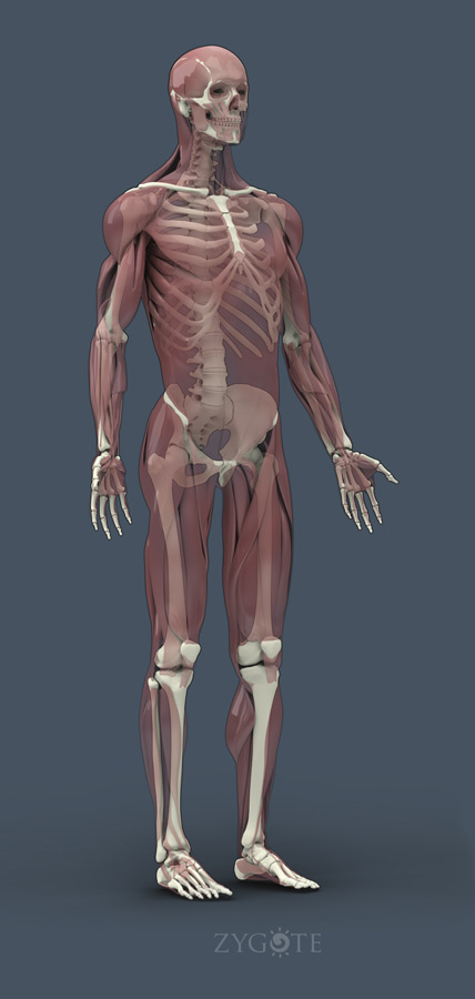 Solid 3d Muscular Skeletal Connective Model Collection