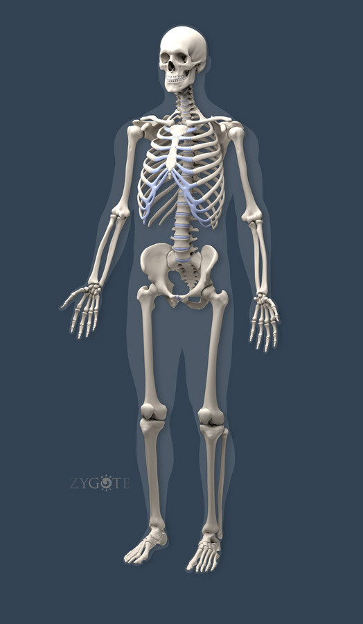 solid 3d muscular skeletal connective model collection, Muscles