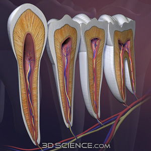 teeth crosssection 3d models
