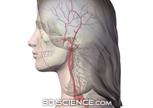 circulatory_arteries_head_neck_female_web.jpg  (300 x 212 x 16777216) (46969 bytes)