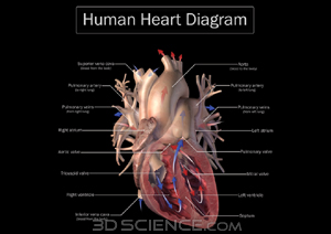 Heart diagram zygote heart labeled diagram ccuart Gallery