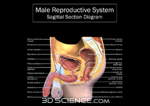 Reproductive system diagram male reproductive system diagram ccuart Gallery