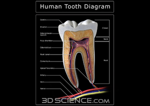 diagram_tooth_section_web.jpg  (300 x 212 x 16777216) (45642 bytes)