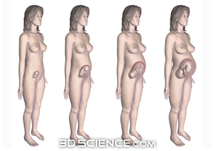 female_pregnant_4stages_web.jpg  (300 x 212 x 16777216) (50184 bytes)