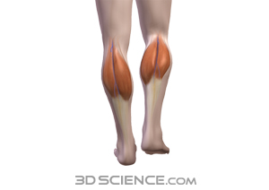 muscles_gastrocnemius_web.jpg 