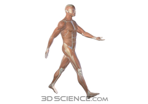 muscles_walking_male_web.jpg  (300 x 212 x 16777216) (28362 bytes)