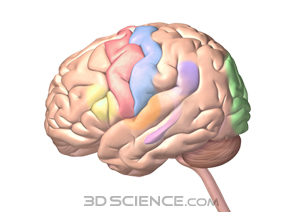 nervous_colored_cortex_web.jpg 