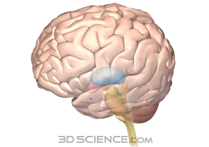 nervous_midbrain_web.jpg 