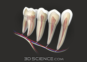 teeth_four_trans_vascular_web.jpg  (300 x 212 x 16777216) (45582 bytes)