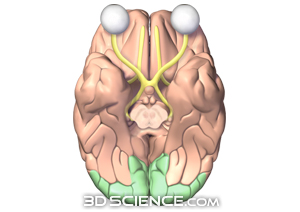 Visual Cortex http://www.3dscience.com/3D_Images/Human_Anatomy/Nervous/Brain/Brain_Visual_Cortex.php
