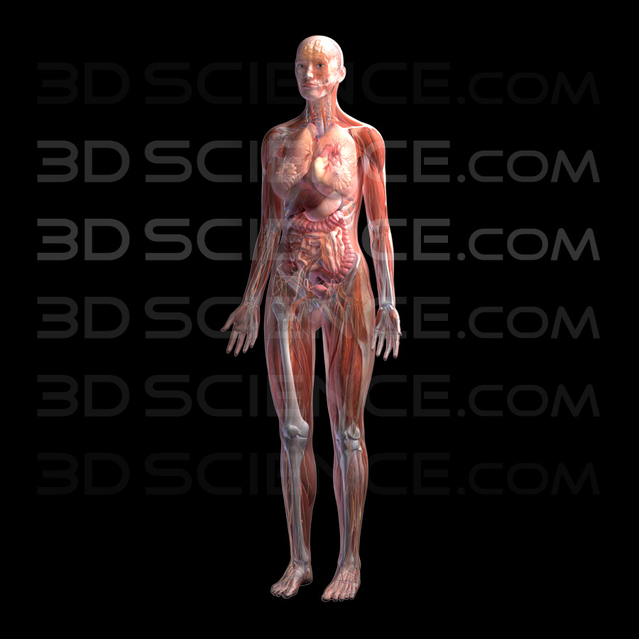 Female Anatomy System Composite on Black