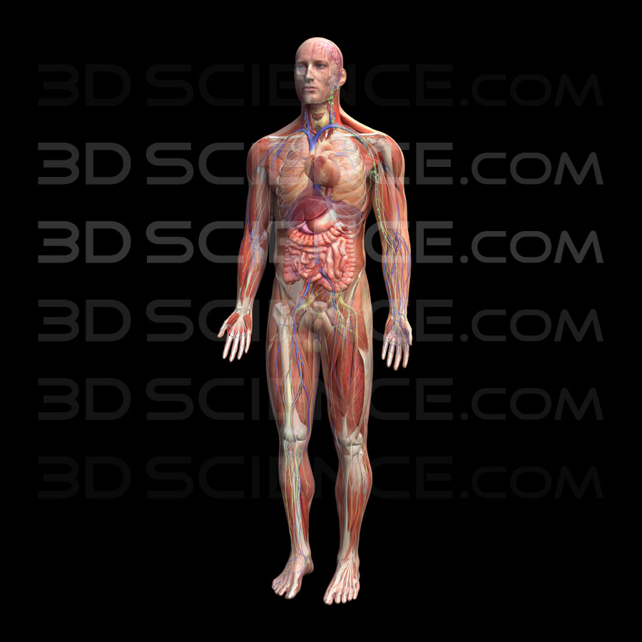 Male Anatomy System Composite on Black
