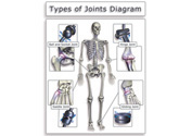 joint diagrams of the human skeletal system, Skeleton