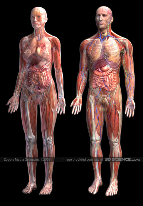 Male and Female Anatomy System Composite Image