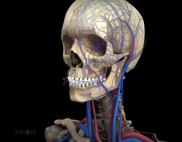 3D Models Human Anatomy Collection 5 0