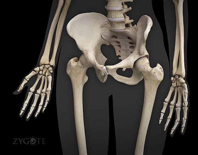 3d models human anatomy collection 5.0, Skeleton